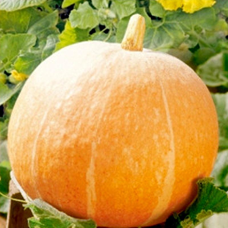 Frö till Pumpa 'Orange Summer'