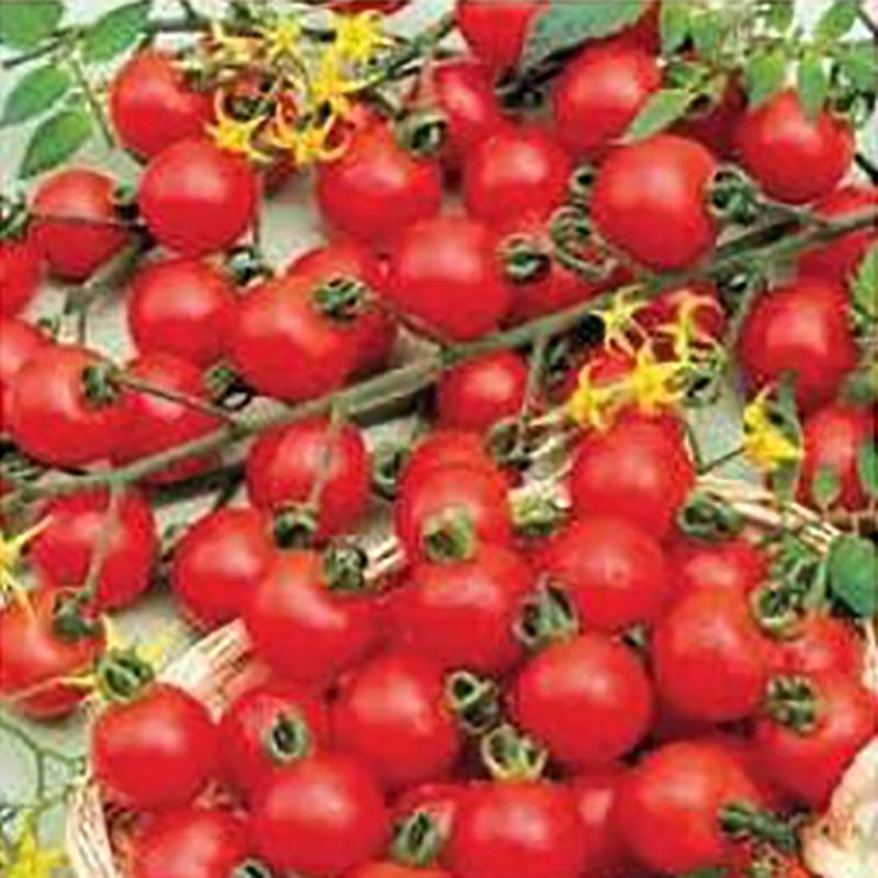 Fröer till Tomat - Spencer