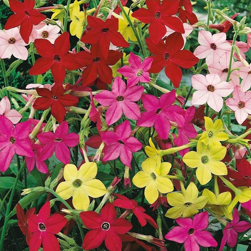 Fröer till blomstertobak ornamental tobacco, sensation
