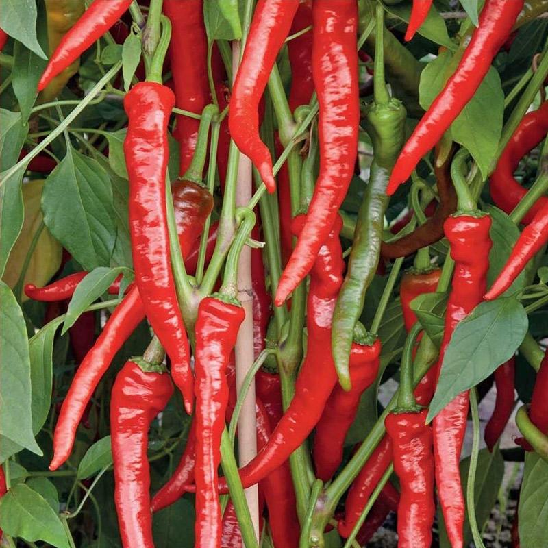 Fröer till chilipeppar hot epper, poseidon