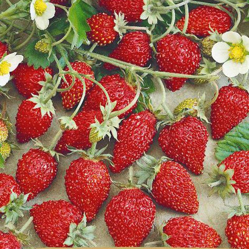 Fröer till smultron, Fragaria vesca L. 'Baron Solemacher'