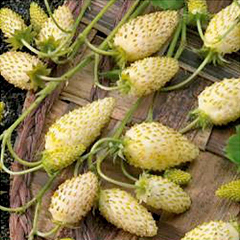 Frö till Smultron - Yellow Cream