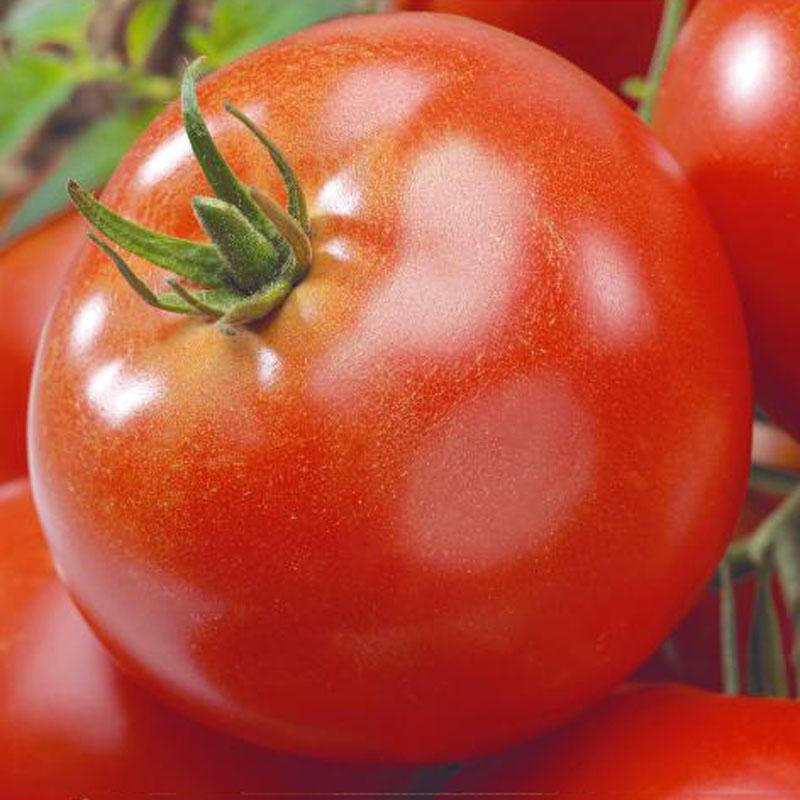 Fröer till Tomat , Solanum lycopersicum L. 'Agilis' F1