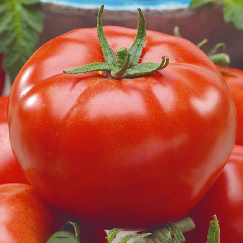 Fröer till Tomat, Solanum lycopersicum L. 'Bellfort' F1