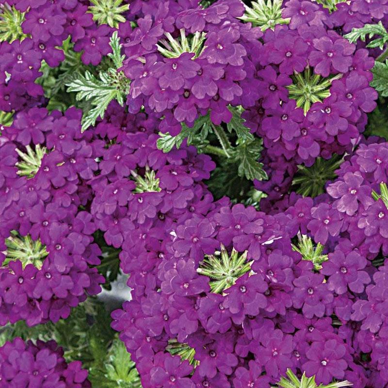 Fröer till trädgårdsverbena hybrid verbena, magenta