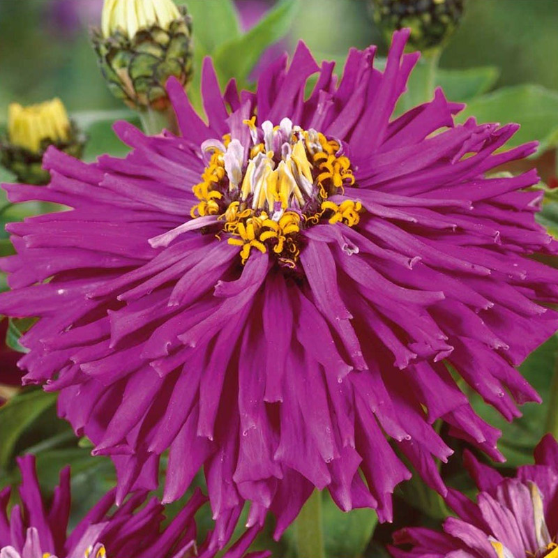 Fröer till zinnia zinnia, lilac empress