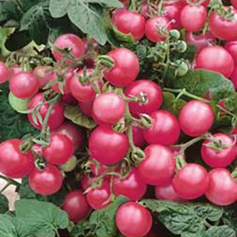 Frö till Tomat - Malinowy Kapturek