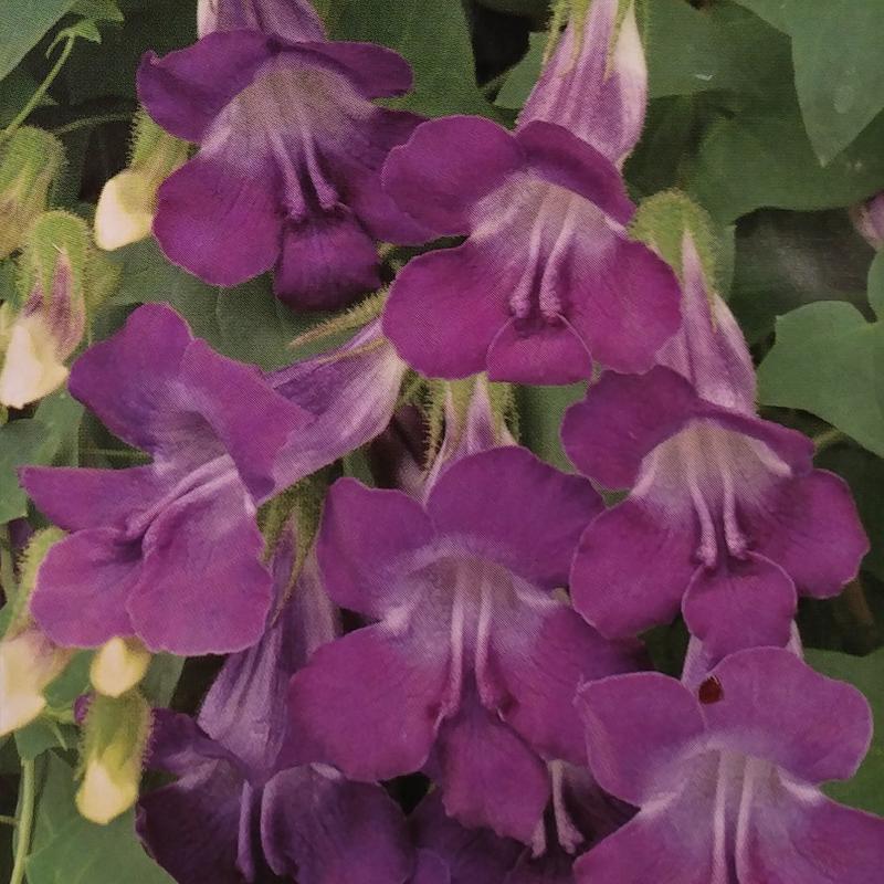 Lejongap är en snabbväxande klängväxt.