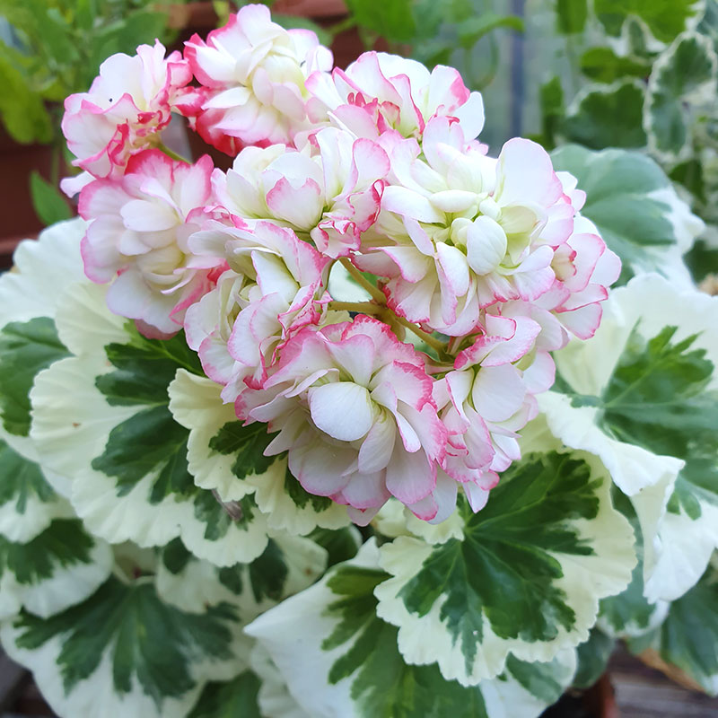 Westdale appleblossom rosebud - rosenknoppspelargon