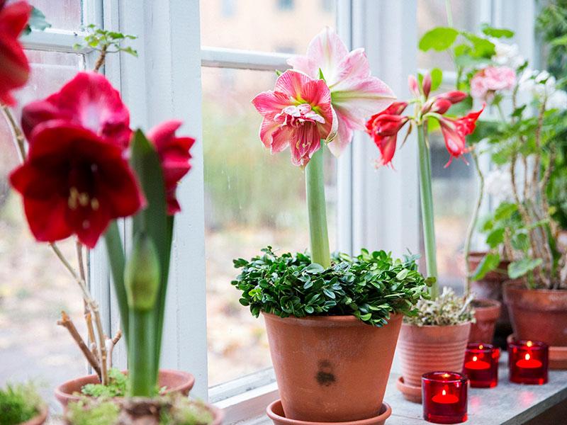 Amaryllis i krukor på fönsterbräda