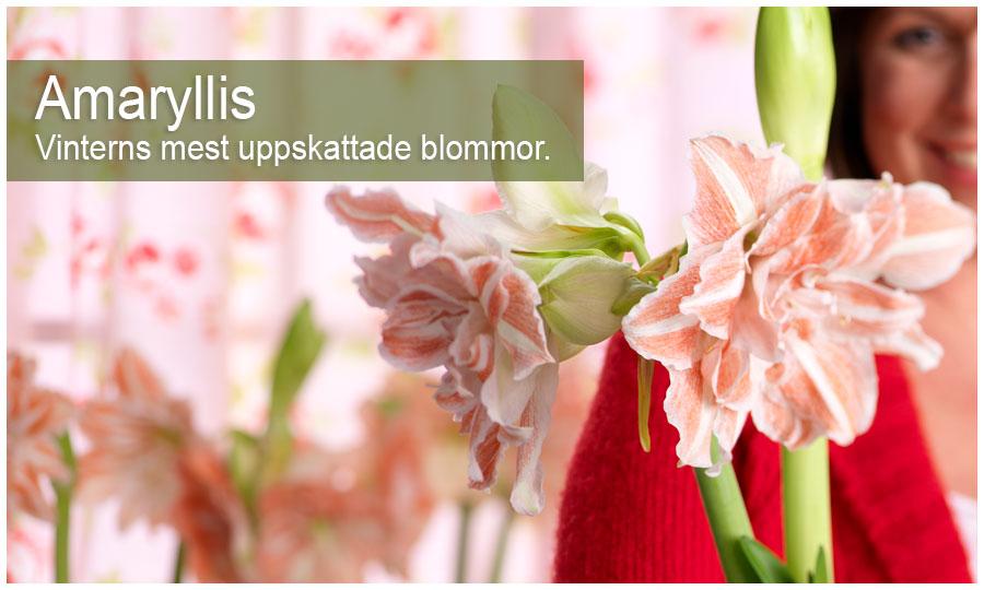 Amaryllis, vinterns mest uppskattade blomma