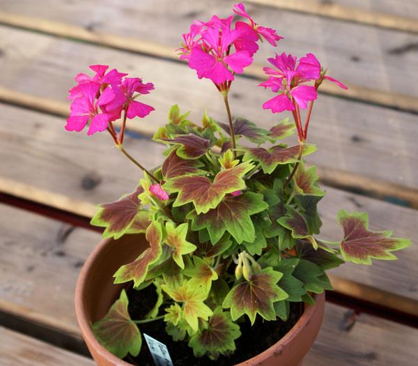 Hybridisering och förädling av pelargoner och andra växter