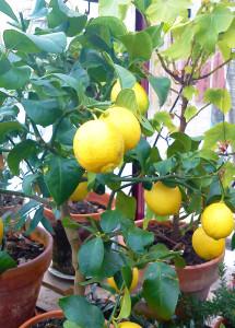 Vård och övervintring av citrusträd