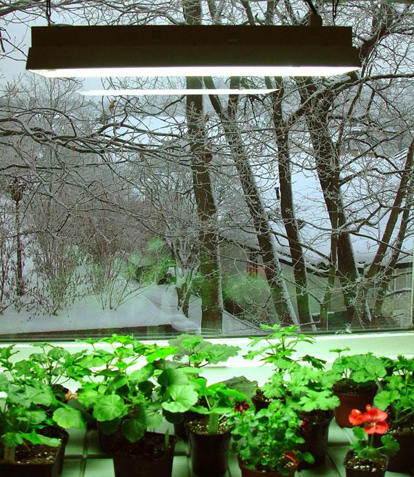 Övervintring i fönster med lampa