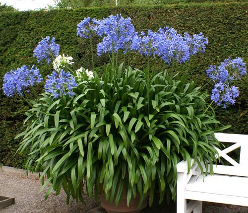 Förökning av Afrikas blå lilja – Agapanthus praecox
