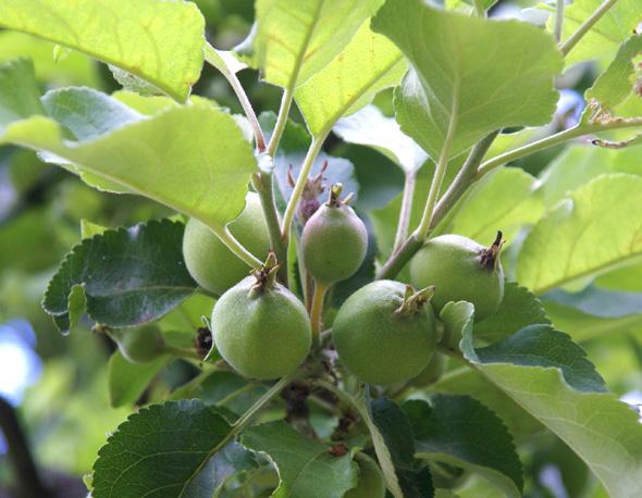 Gallra äpplen