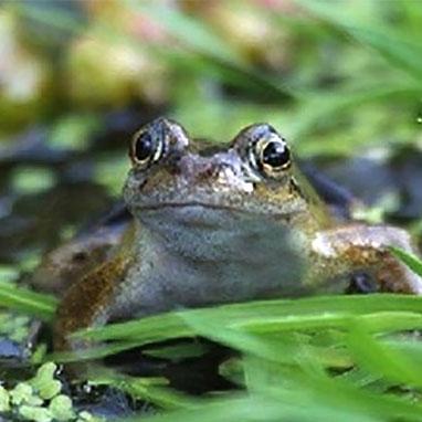 Om grodor och paddor