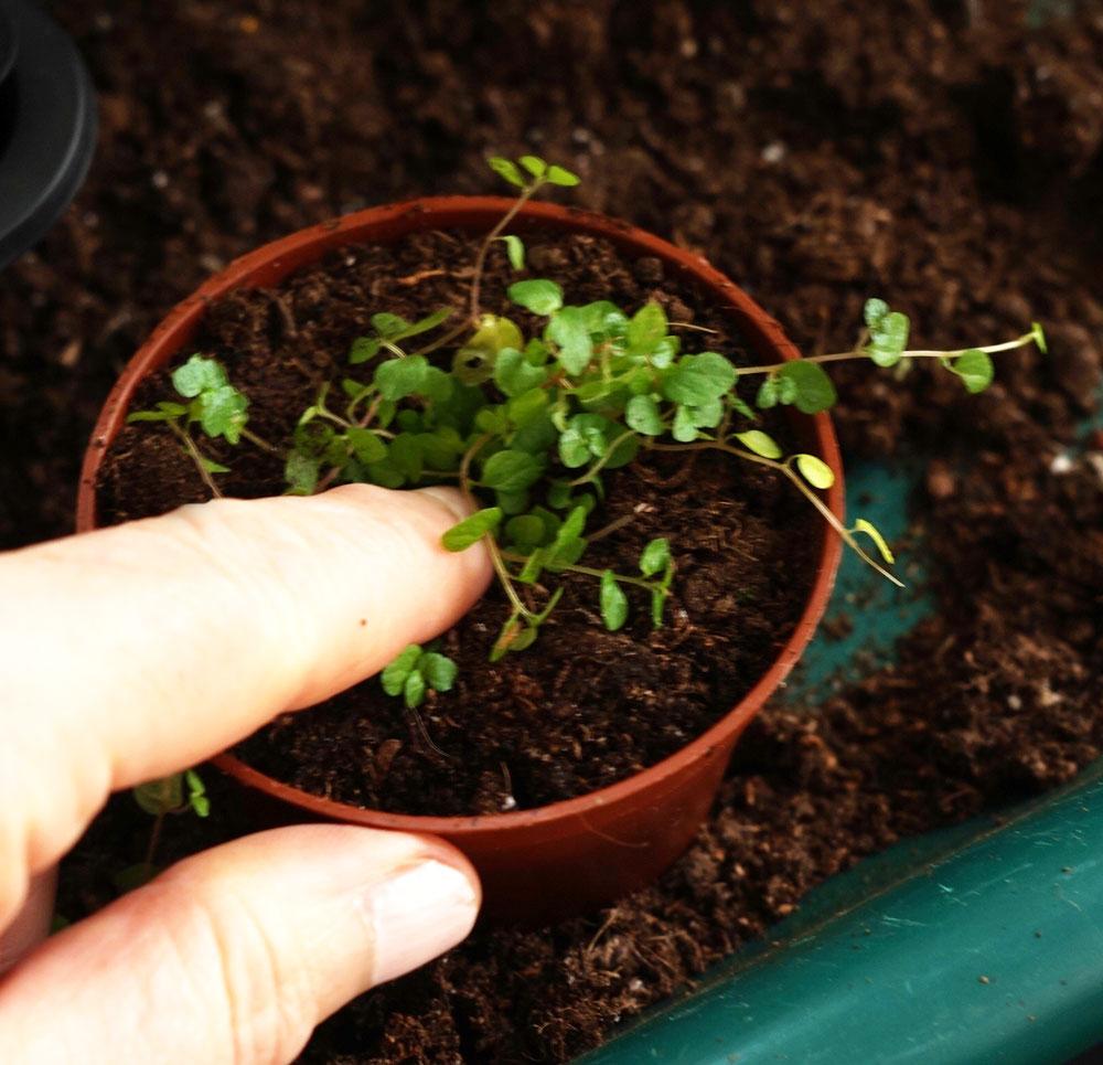 Plantera sticklingar av hemtrevnad i krukan