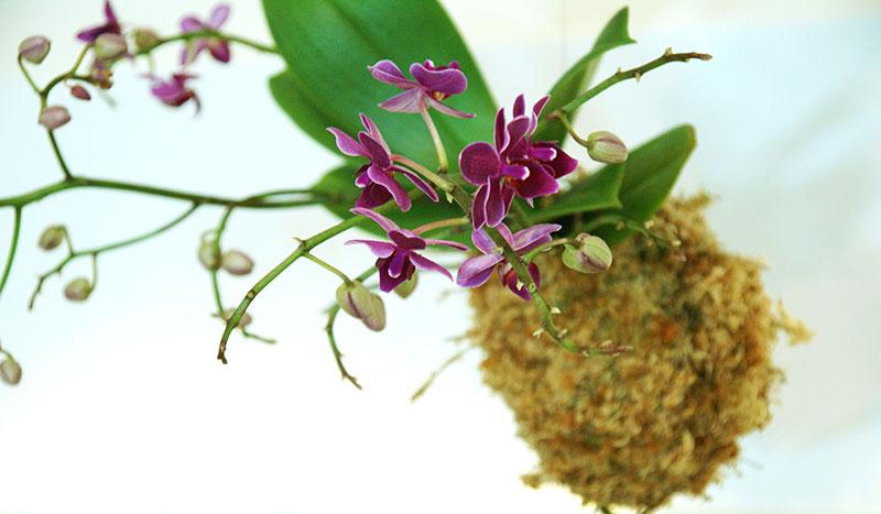 Kokedama - orkide i sphagnum mossboll