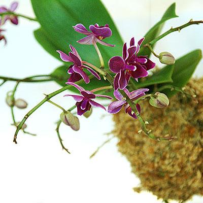 Kokedama med orkidéer - mossboll