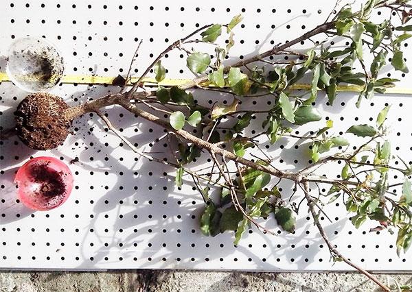 Föröka växter med luftavläggare