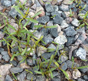 Självsådda sommarblommor i grus