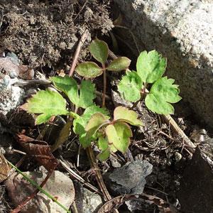 Självsådd klematisplanta