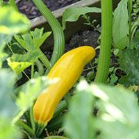 Så här odlar du squash, courgette, zucchini