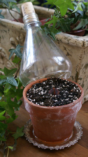 Avokadokärna 2/3 djupt planterad
