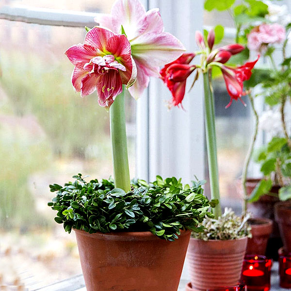 Amaryllis med dubbla blommor i lerkruka på fönsterbrädan