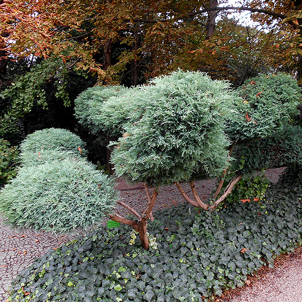 Juniperus virginia 'Grey Owl'
