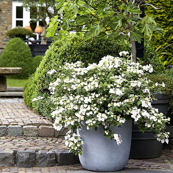 Buske, hortensia med vita blommor