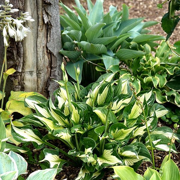 Olika sorters funkia i plantering