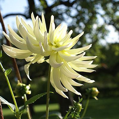 Lökar och knölar till prydnadsväxter, sommarblommor