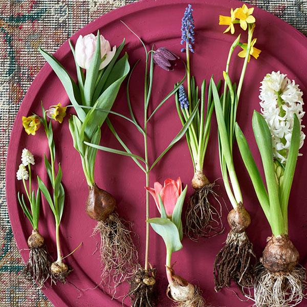 Lökar, knölar, rött och rhizomer till perenner och sommarblommor