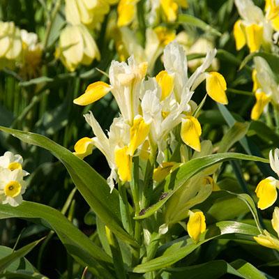 Knölar till vårblommande iris