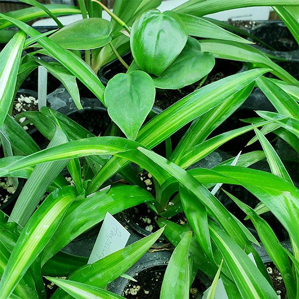småplantor av krukväxter
