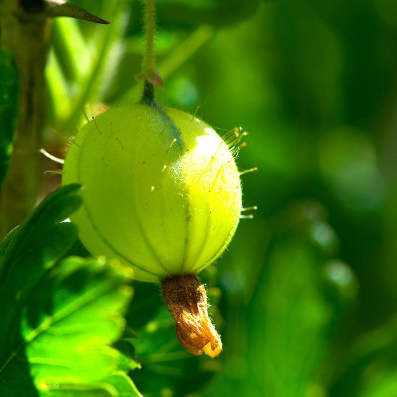 Närbild på grön krusbärsfrukt