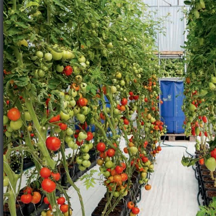 Tomatodling i hydrokultur