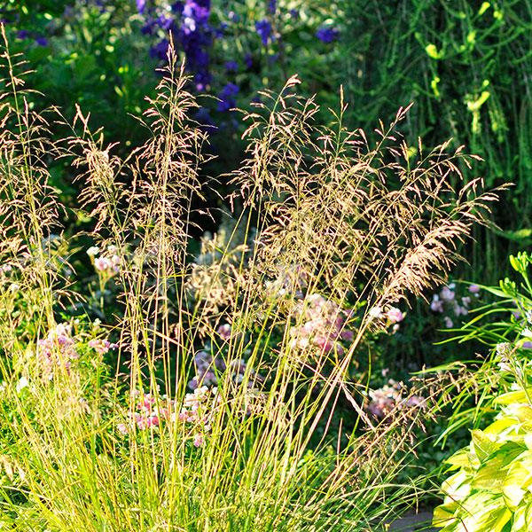Prydnadsgräs för kruka och rabatt