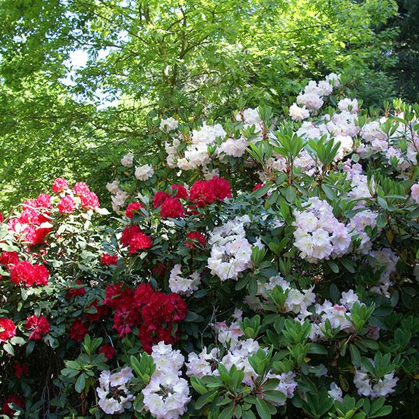 Rhododendronbuskar
