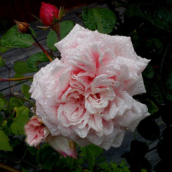 Rosa ros 'Awakening'