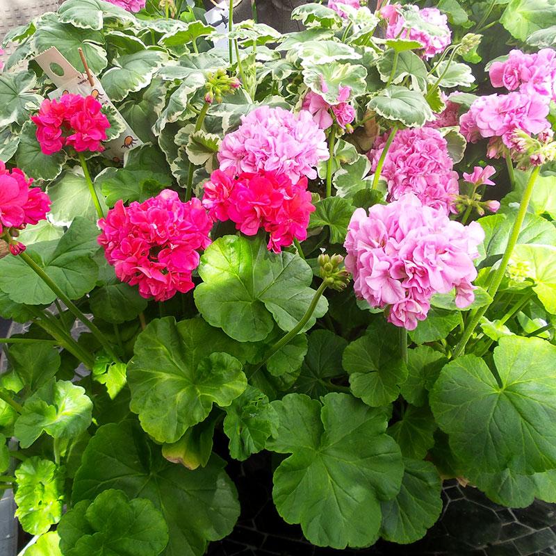 Rosa och rödblommande pelargoner