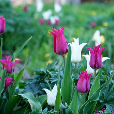 Tulpaner - vårblommande lökväxter