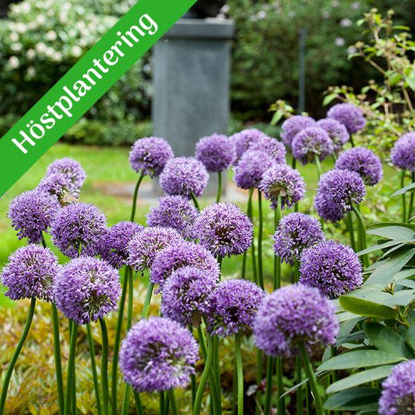 Lökar till prydnadslök - Allium