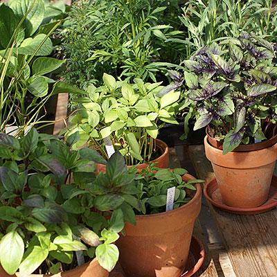Frö till kryddväxter och örter