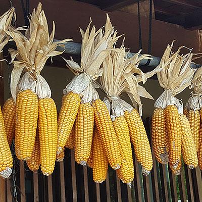 Frö till odling av majs på friland