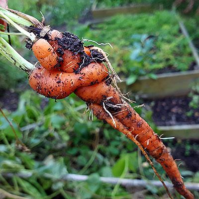 Skörd av motötter som kramas