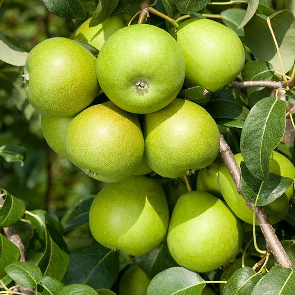 Fruktträd med gröna äpplen