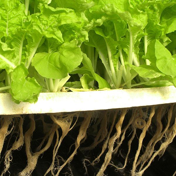 Rötter av sallat i vattenkultur